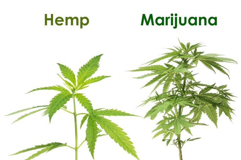 Hemp and Cannabis Compared