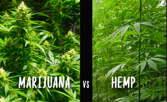 The Difference Between Hemp & Marijuana