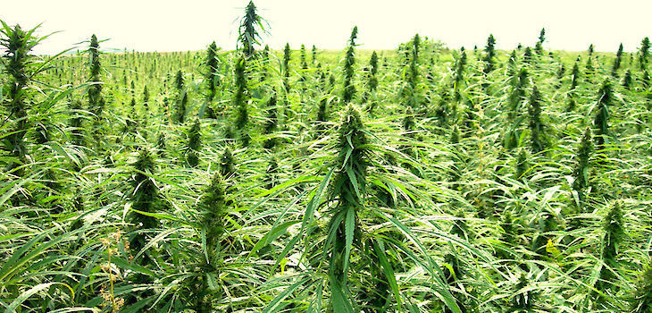 Where To Sell Industrial Hemp